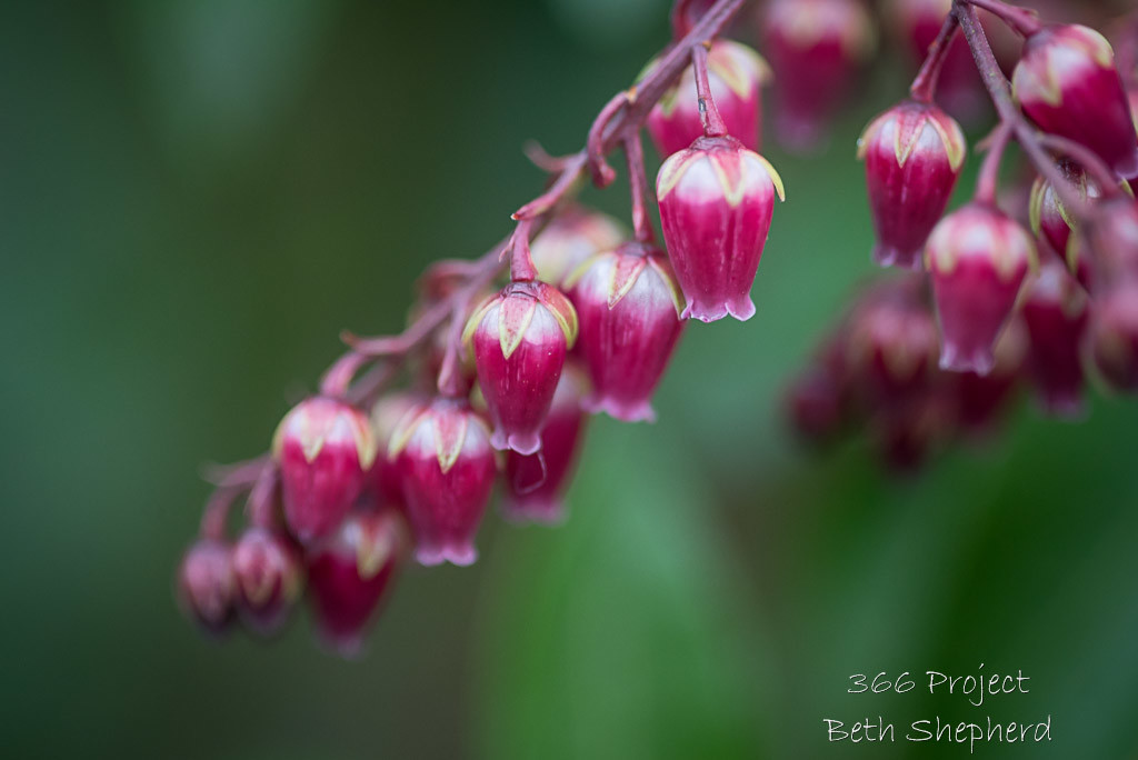 Pieris in pink
