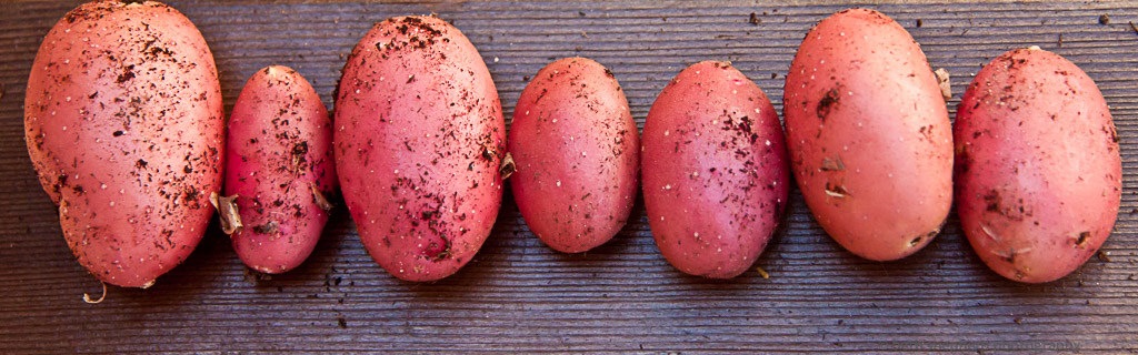 Container potatoes
