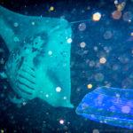 Pacific reef Manta Ray in Hawaii