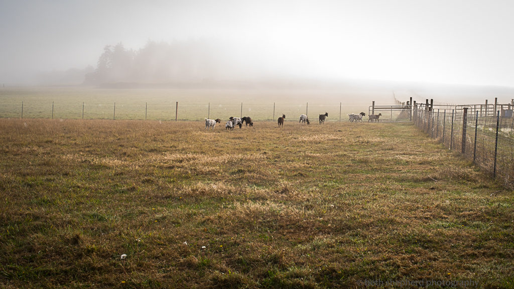 goats and fog