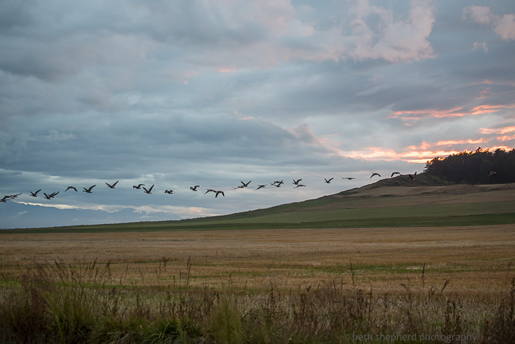 Geese on Whidbey Island