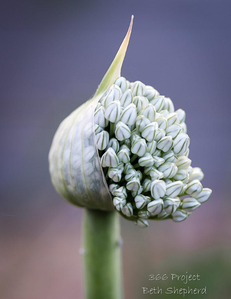 onion flowering